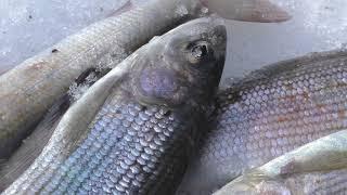 апрельская подледная рыбалка на хариуса и Ленка/трудовая рыбалка/ весна