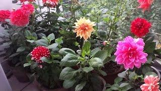 Grow best Dahlia || Caring Dahlia plant (28/12/16)