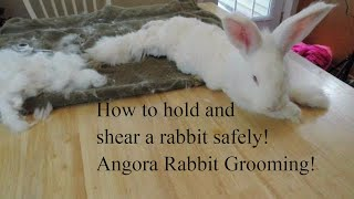 How to shear an angora rabbit. How to use a high power blower. How to hold a rabbit for shearing.