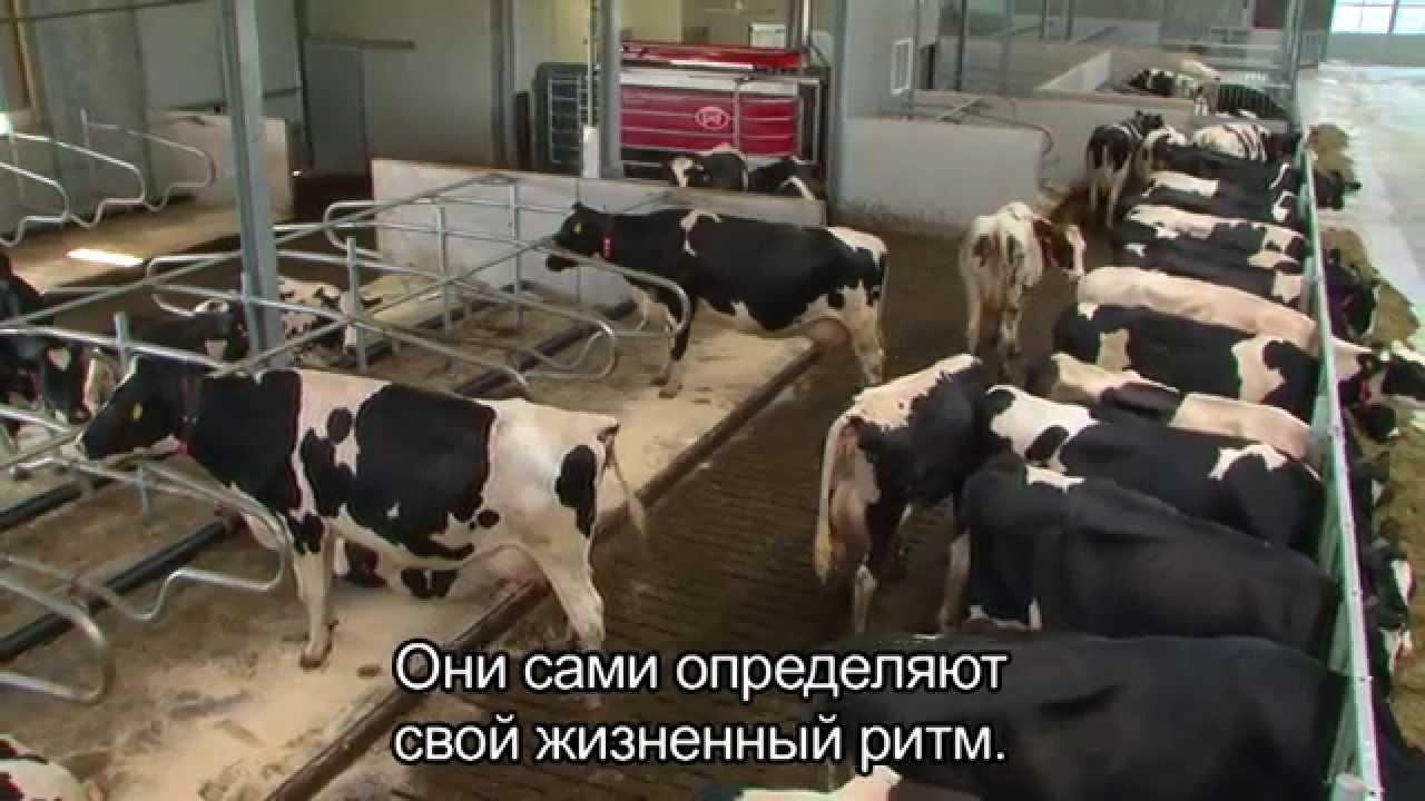 Lely Astronaut A4 - Benefits cow (Russian / England)