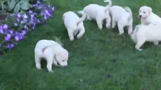 Lab Mix Puppies For Sale