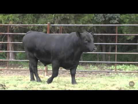 Seven T Farms Tag 1708 bull