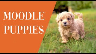 Moodle Puppies Australia