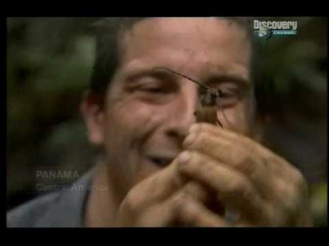 Bear Grylls eating beetle!