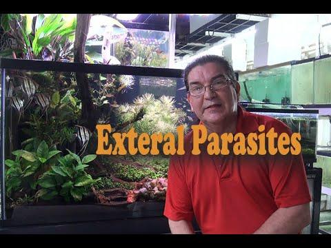 External Parasites And Discus Fish