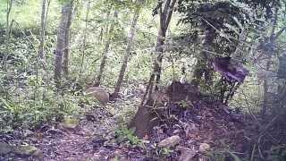 Wild Thai Tiger - Panthera tigris