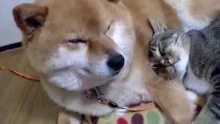 三本足猫トラは柴犬モモかあさんから離れたくない thumbnail