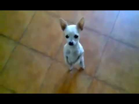 Just Dance, Chihuahua , dance! (dancing dog )