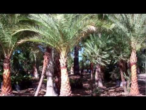 Date Palm Houston Texas