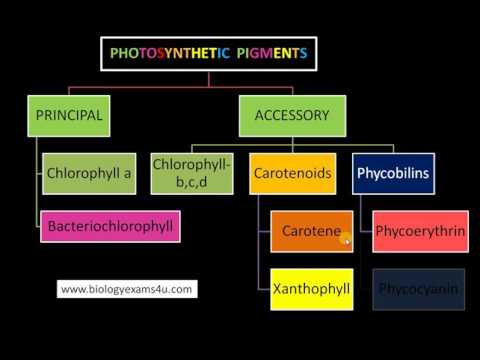 3 Major Classes Of Pigments In Photosynthesis