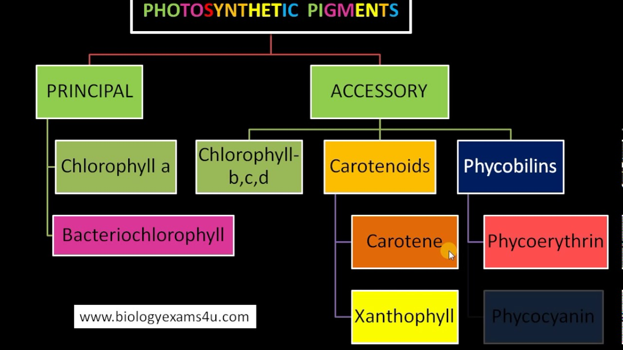 plant pigments and photosynthesis Chlorophyll is a type of pigment used by plants to trap the energy in sunlight for use in photosynthesis the green we see in many plant leaves is actually a combination of a number of pigments, with the majority of those pigments being chlorophyll.