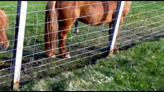 shetland ponys with boners