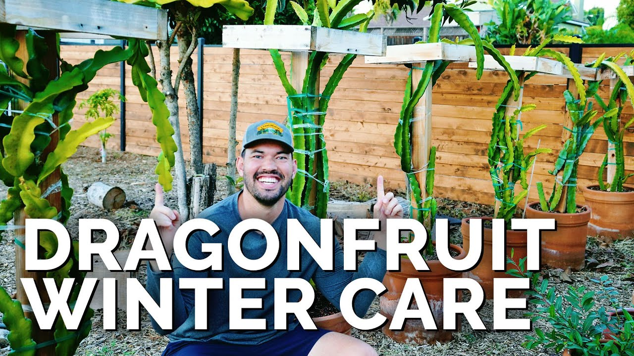 7 Essential Dragon Fruit Care Tips For Fall