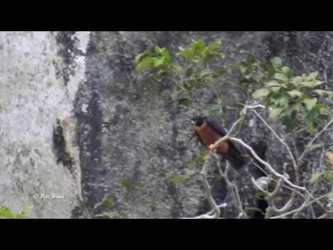 Oriental Hobby (Falco severus)