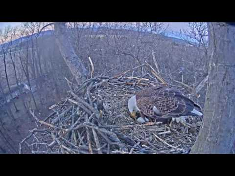 Hanover Eagles - Egg #2 is here! - 02-13-17