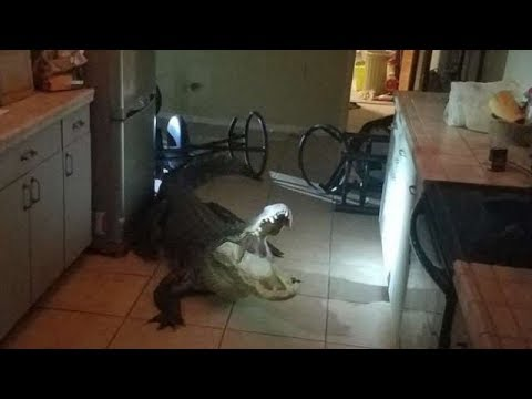 Огромный аллигатор прокрался на кухню к женщине и устроил там погром – или ПРОСТО АМЕРИКАНСКИЕ БУДНИ