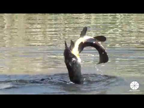 Great Cormorant Catches And Eats A Huge Carp