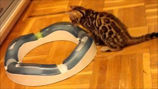 """Бенгальские котята.Питомник """"Jaguar Jungle"""""""
