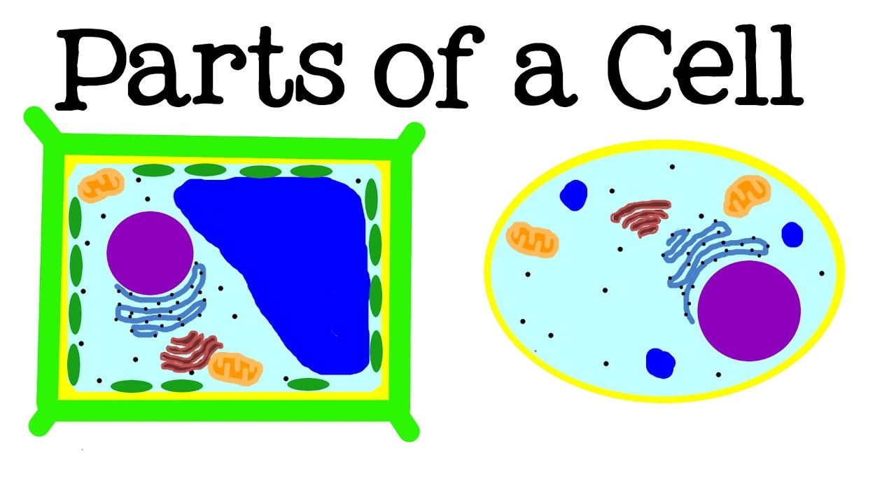 All About Cells And Cell Structure Parts Of The For Kids Model Further Simple Plant Diagram On Animal Wall Freeschool Youtube