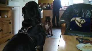 Rottweiler Vs Boxer Test Of Endurance