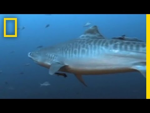 WSV: Tiger Shark vs. Turtle Shell - YouTube |Tiger Sharks Attack Turtle