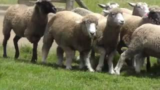 マザー牧場で牧羊犬が羊を追いかけて走らせたり、織の中に入れたりする...