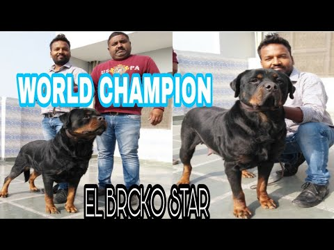 PRINCE TYAGI JI KA WORLD CHAMPION DOG EL BRCKO  STAR.IN DELHI.