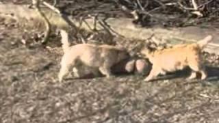 Cairn Terrier Mit Doggen