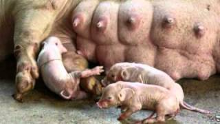 PIG GIVING BIRTH - Suspense! babies having a hard time, Philippines