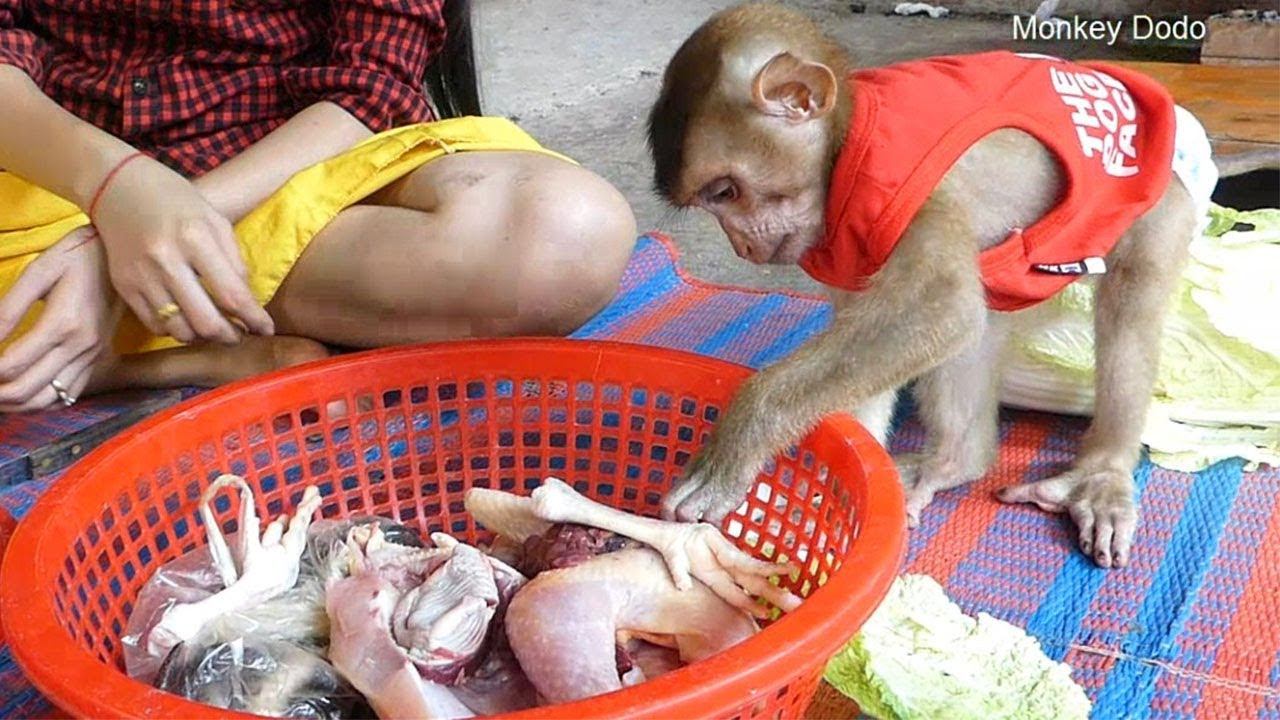 Monkey Dodo!! Dodo Much Funny Really Wonder And Look Like Want Test Chicken Meat
