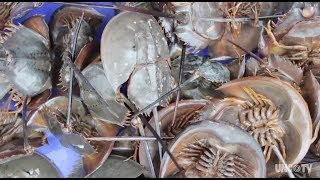 Did you get the flu shot? Thank a horseshoe crab