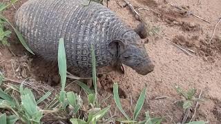 Tatu de rabo mole, Cavando a toca, Cabassous unicinctus, vida selva...