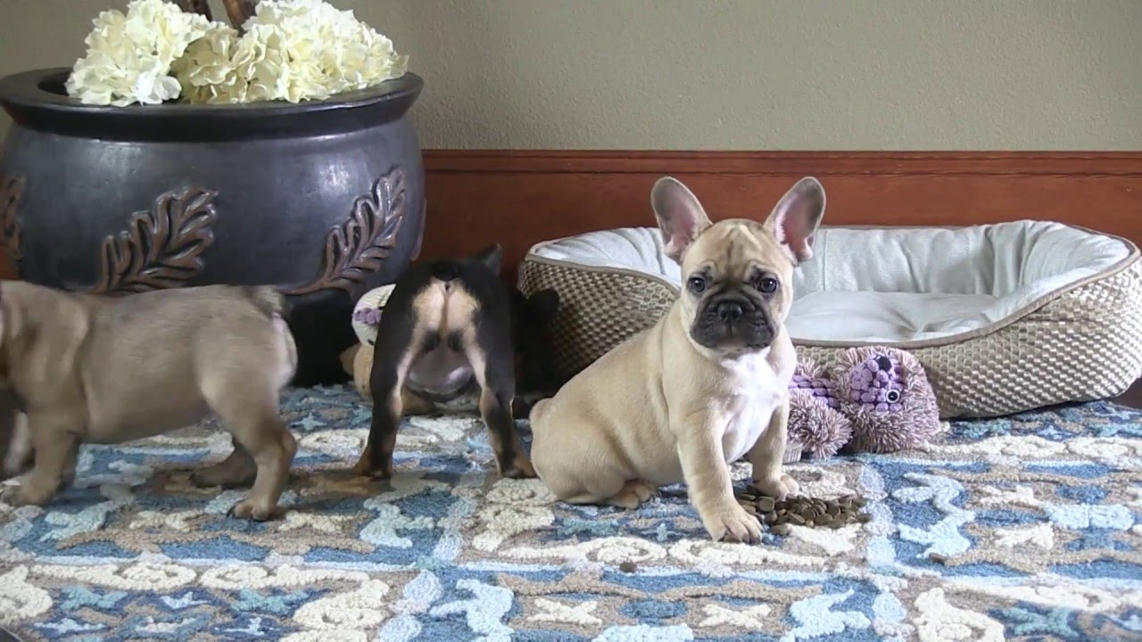 8 weeks old - french bulldog puppies playing.