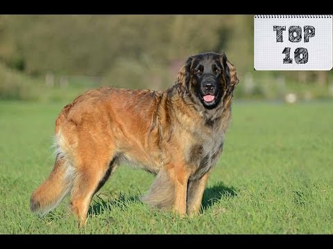 Top 10 Shortest Living Dog Breeds in The World