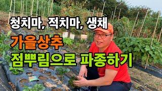 가을 상추 점뿌림으로 파종하기 - 청치마, 적치마, 생…