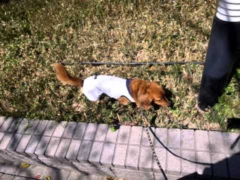 Saluki & Dachshund - walking together (2)