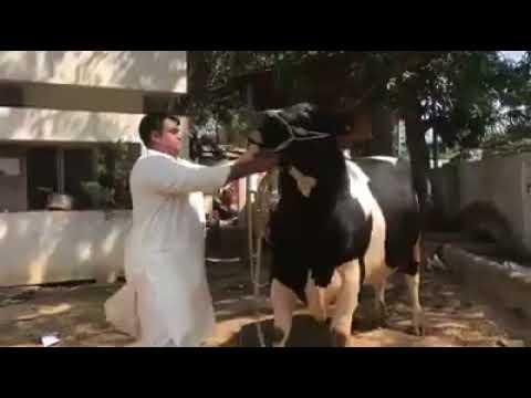 Jinnah Cattle Farm 2018 || 2017 || 2018 || Karachi Sohrab Goth Cow Mandi by  Karachi Sohrab Goth Cow Mandi