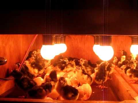 Cara Mudah Menetaskan Telur Ayam Dengan Mesin Penetas