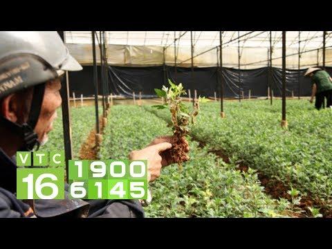 Cây hoa cúc bị héo rồi chết phải khắc phục thế nào? I VTC16   Foci
