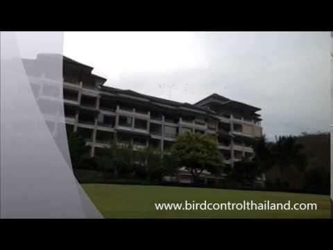 ไล่นกพิราบ สนามกอล์ฟแบ็ลคเม่าเทน หัวหิน ด้วยเหยี่ยว by birdcontrolthailand
