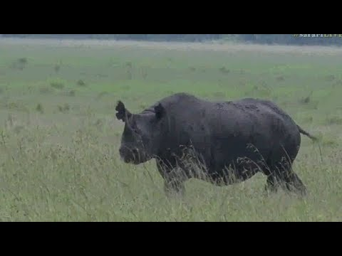 Safari Live : Brent with a Black Rhino in the Maasai Mara this afternoon Dec 09, 2017