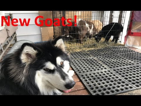 Pygmy Goats UpDate & Adam Stops For A Visit