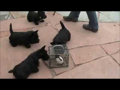 Scottie puppies meet a rat