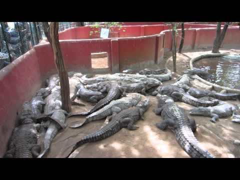 Crocodile Feeding at Guindy National Park, Chennai
