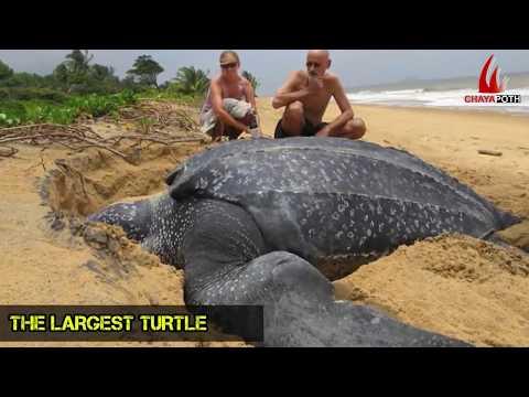 বাস্তবে দানব আকৃতির কিছু প্রানী দেখলে অবাক হবেন || 5 Real Giant Animals That Exist In Real Life