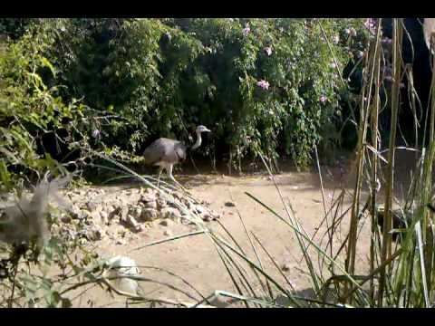Temaiken-Ñandu-video-2010-05-02-11-18-28.3gp