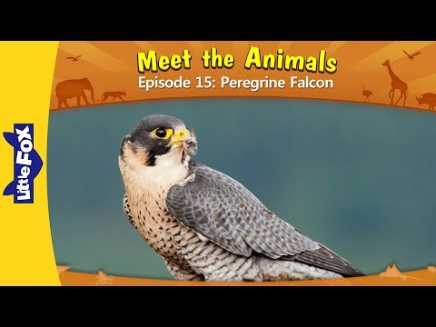 Meet the Animals 15: Peregrine Falcon | Level 2 | By Little Fox