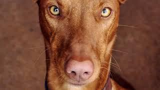 Pharaoh Hound  Dog Breed  Pet Friend