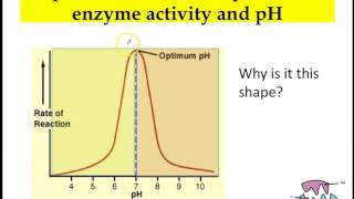 effects of ph on amylase activity Effects of ph on amylase activity abstract: amylase is an important enzyme in the human body as it allows for the consumption of starch by breaking the polysaccharide down into maltose units all enzymes, including amylase, function best at a.