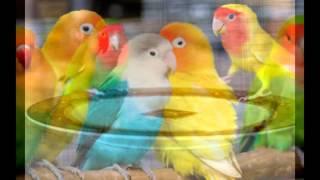 Попугаи неразлучники.
